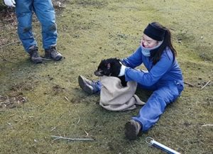 Tasmanian devil being released after health check.
