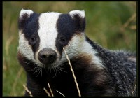 Badger By Killianwoods _Template_University Observer_ Public domain via Wikimedia Commons