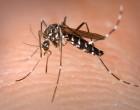 Aedes_Albopictus