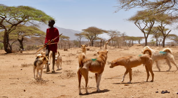 Maasai boy with dogs