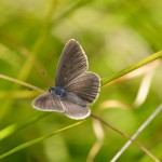Alcon Blue Butterfly. Image from www.greenwings.co